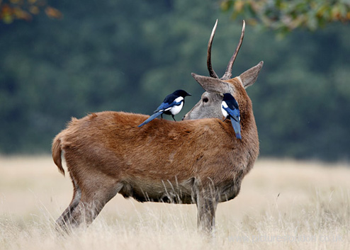 ROE DEER & MAGPIES
